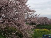 桜20163