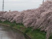 桜20164