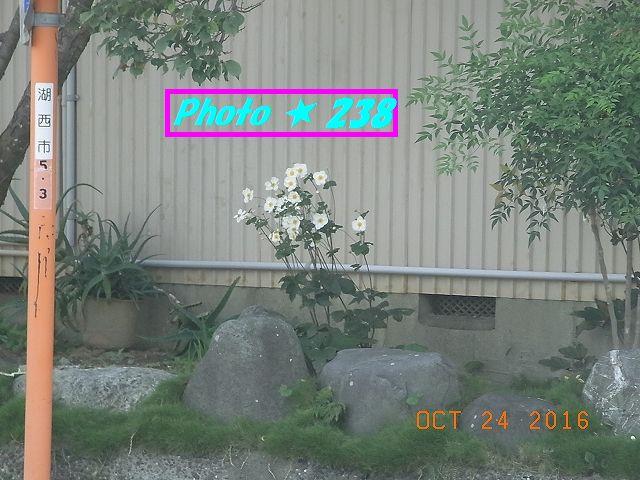 近所の白い花。