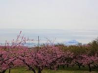 4月14日 新府の桃と富士山