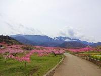 4月14日 新府の桃と鳳凰三山
