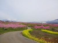 4月14日 新府の桃