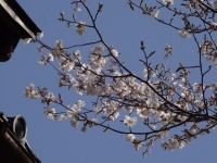 4月15日 蔵座敷の桜 部分