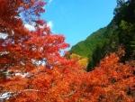 白井平銘木の紅葉