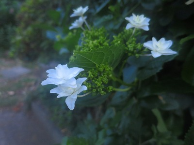 160520 紫陽花