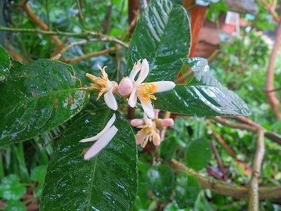 160623 仏手柑の花