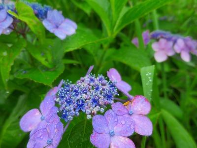 160623 紫陽花