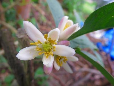 2016718 仏手柑の花
