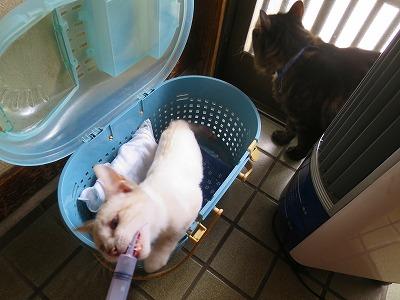 2016815 猫の熱中症3