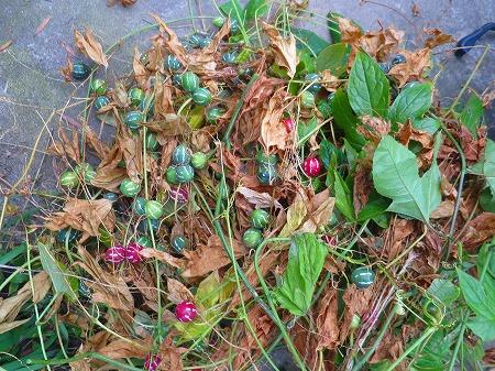 20161123 オキナワスズメウリの収穫