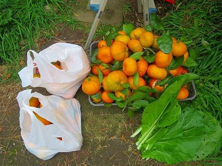 20161123 蜜柑と菜っ葉