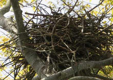 カラスの巣2