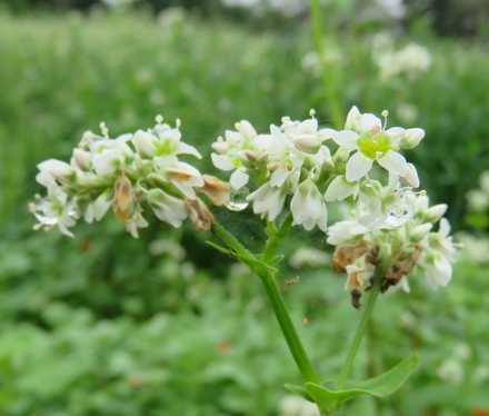 ソバの花 3