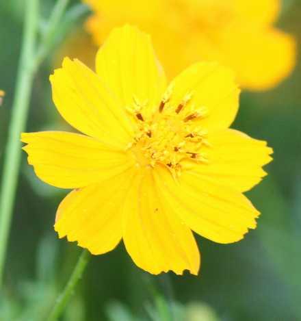 黄花コスモス 1