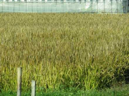 稲刈り未 2