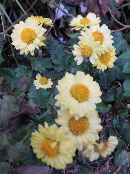 菊の花 1