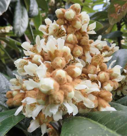 ビワの花 3