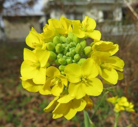 菜の花 11