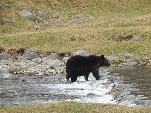 Bears find salmon