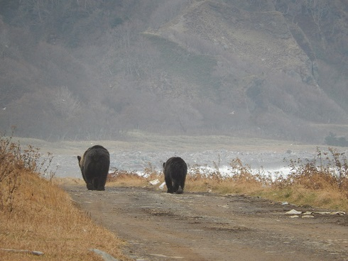 Female bears with cub walk on the dart road