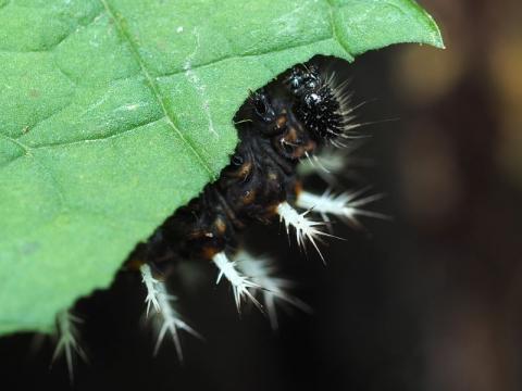 ルリタテハ幼虫顔160927