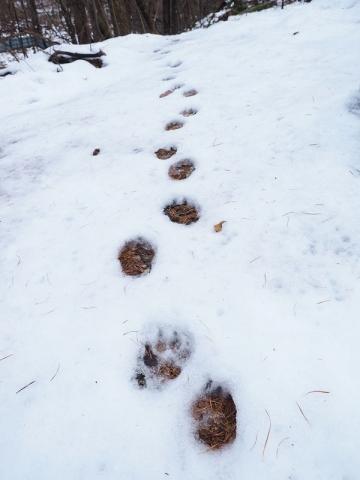 タヌキ足跡161129