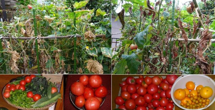 枯れたトマトと収穫したトマトconvert_20160728064758_convert_20160728065917