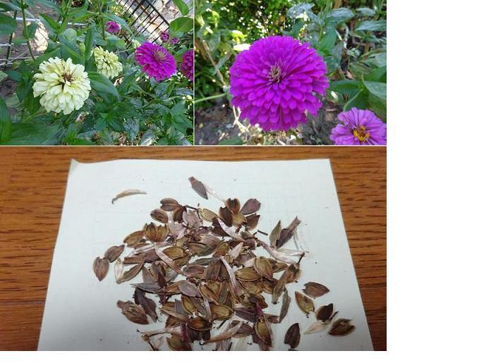 百日草の花と種