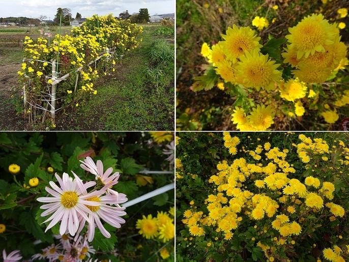 我が家の畑の菊2