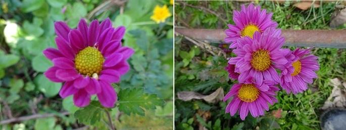 遅さ咲き菊2