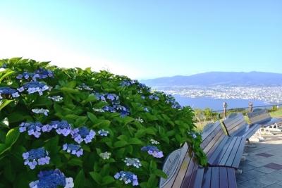 函館山に額紫陽花