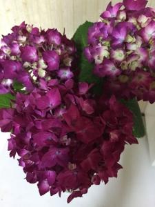 めいちゃんちの紫陽花
