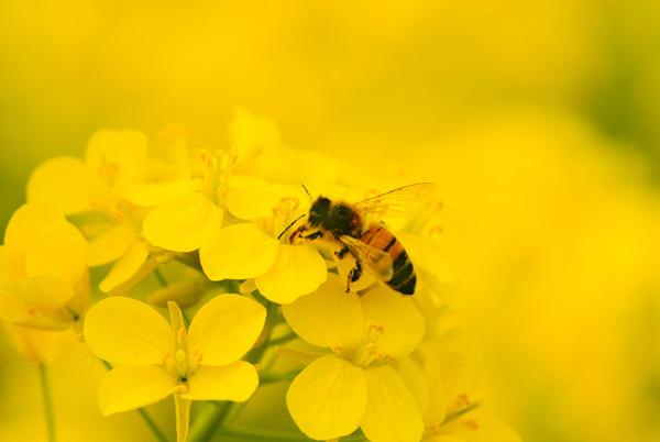 蜜蜂を救いたい