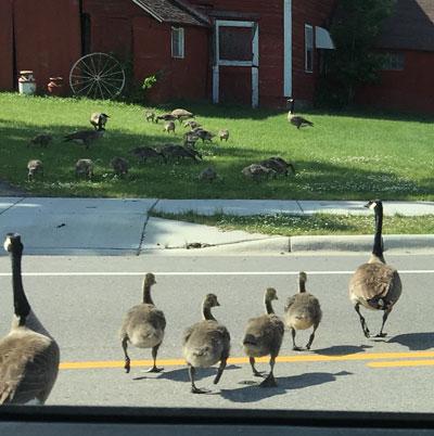 geesecrossing05311602.jpg