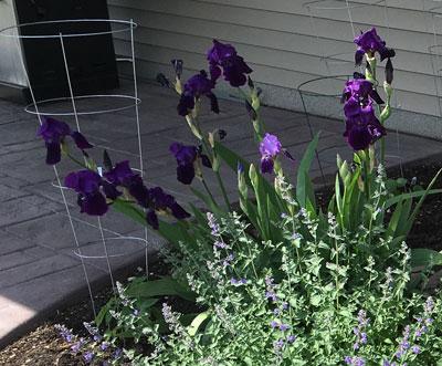 iris052416.jpg