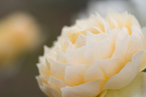 王子バラ園のバラ