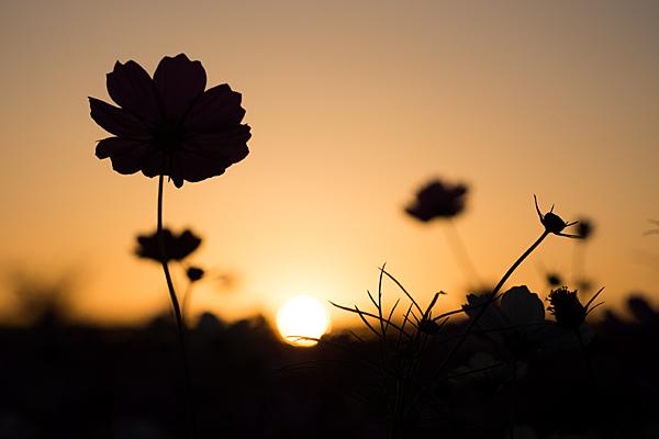 夕陽とコスモスのシルエット