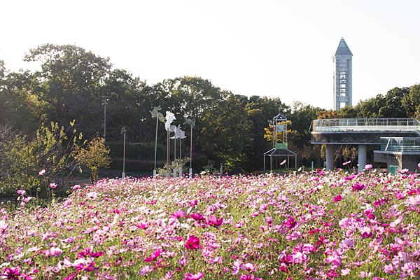 東山植物園コスモス畑