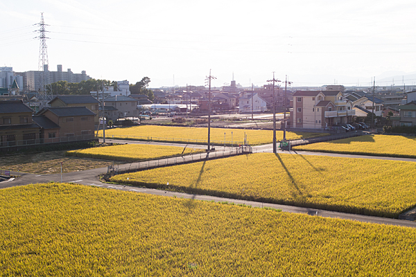 黄金色の田んぼ