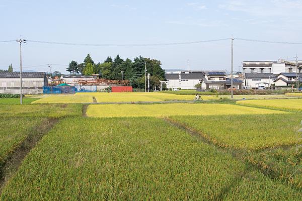 収穫前の田んぼと神社