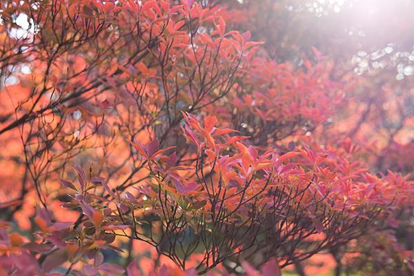 光を浴びるドウダンツツジの紅葉