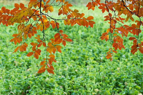 百日紅の紅葉