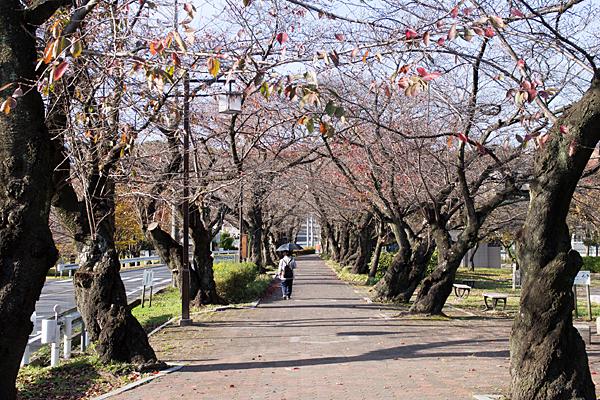 雨池公園晩秋の桜並木