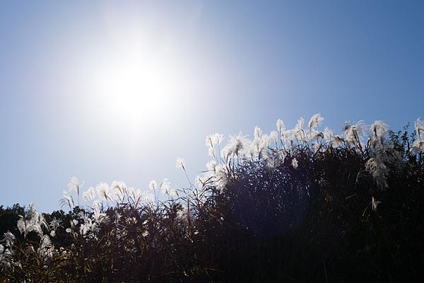 冬のススキと太陽