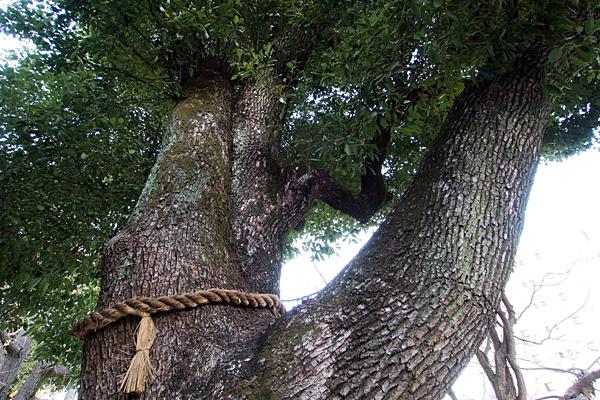 多奈波太神社ご神木