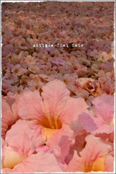 地震お見舞い タイ桜 キダチベニウゼン チョンプー・パンティップ ชมพูพันธุ์ทิพย์ タイ Thailand ไทย