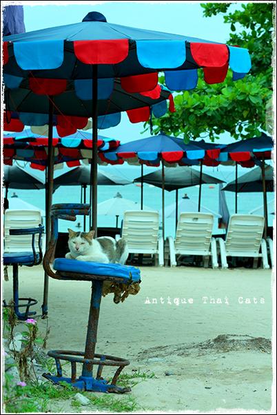 スツール猫 stool cats ラーン島 เกาะล้าน Koh laan Island ヌアンビーチ หาดนวล Nual beach