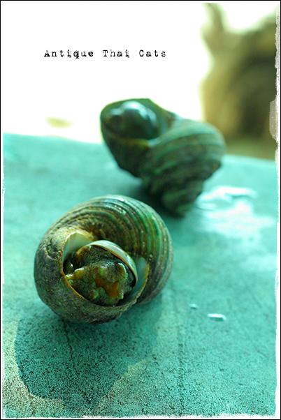 お出かけ サザエ ラーン島 เกาะล้าน Koh laan Island Turban shell เปลือกผ้าโพกหัว