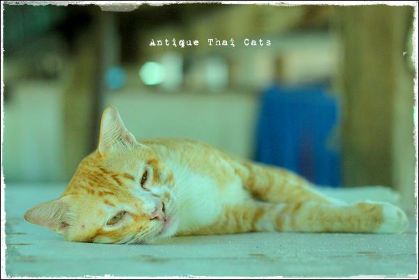 お出かけ cats ラーン島 เกาะล้าน Koh laan Island ティエンビーチ パタヤ Pattaya พัทยา หาดเทียน Tien beach タイ Thai ไทย 寝ボケまなこ猫