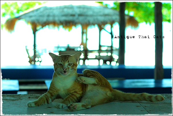 お出かけ cats ラーン島 เกาะล้าน Koh laan Island ティエンビーチ パタヤ Pattaya พัทยา หาดเทียน Tien beach タイ Thai ไทย 変顔猫